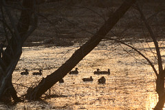 Blue Winged Teal at Sunset (turn off your computer and go outside) Tags: 2017 anasdiscors april birdsofminnesotaandwisconsinpage68 bluewingedteal hwy51 rockcounty wisconsin bird critter identified nature pond spring sunset water