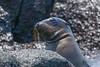 Baby seal (Skypinebear) Tags: seal ocean galapagos sharp nikon nature love peace