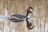 Great Crested Grebe (pstani) Tags: england europe greatbritain lakenheath lakenheathfen podicepscristatus rspb suffolk bird fauna greatcrestedgrebe grebe