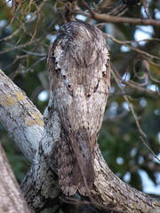 Northern Potoo (Michael Woodruff) Tags: northernpotoo northern potoo nyctibiusjamaicensis nyctibius jamaicensis san blas