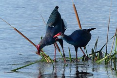 Purple Swamphen - Courtship display - at Marshland (forest venkat) Tags: music new moon dog sun cloudy clouds cat park winter landscape street summer sea lake christmas people bridge family bird river pink house car food bw old one other online macro orange garden blackandwhite lark tit tits charismas xmas merry images free painting plumage painted lady nagaland eastern himalayas altitude beautiful bright vase visit video village via version national nature nice news next europe belgium france netherlands finland poland amsterdam moscow england iceland