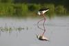 Echasse blanche (stephane_p) Tags: 300mm pentax sigma bird darktable nature oiseau échasse stilt