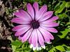 21,899 (joeginder) Tags: jrglongbeach africandaisy osteospermum violet flower garden linden