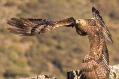 Golden Eagle - Sierra de Andujar - Spain (wietsej) Tags: golden eagle sierra de andujar spain sony rx10 iv rx10m4 bird prey flight bif nature andalusia rx10iv