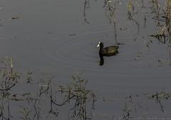 20180324-0I7A6847 (siddharthx) Tags: canonef100400f4556isiimanjeeradammanjeerasanctuaryb telangana india in canonef100400f4556isiimanjeeradammanjeerasanctuarybirdtelanganagoldenhourdawnsunrise eurasiancoot coot commoncoot waterdrops reflections peacefuldawn beautifulmoment lightshade sunrise goldenhour birdsinthewild birdsofindia birdsinflight goldenlight firstlight dawn wadingbirds wader