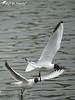 Mouettes rieuses (jean-daniel david) Tags: oiseau oiseaudeau nature lac lacdeneuchâtel yverdonlesbains vol mouette mouetterieuse blanc noir eau volatile closeup duo