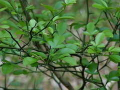 Poncirus trifoliata (alansurfin) Tags: citrus orange green leaves thorns grafting rootstock graft