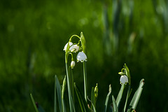 Weekend bells are ringing (Irina1010) Tags: bells flowers spring white green bokeh 2018 nature canon coth5 ngc npc