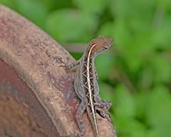 Brown anole (justkim1106) Tags: anole lizard texaslizard reptile smallreptile texaswildlife gardenwildlife nature bokeh naturebokeh animal