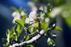 _DSC7739 (JuanCarlossony) Tags: almendro hojas árbol sony slta58 70300mm tamron