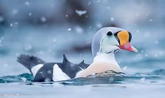Kyhmyhaahka lumisateessa-8910 (Markku Teiramaa) Tags: arctictourist båtsfjord markkuteiramaa norge norja norway sjøfugler somateriaspectabilis kelluvakoju kingeider kyhmyhaahka merilintu seabird talvi vesilintu waterfowl ørjanhansen