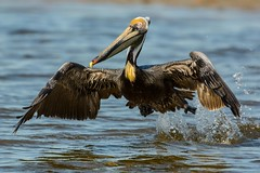 Waterlogged takeoff (ChicagoBob46) Tags: brownpelican pelican bird florida bunchebeach nature wildlife ngc coth5 npc