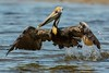 Waterlogged takeoff (ChicagoBob46) Tags: brownpelican pelican bird florida bunchebeach nature wildlife ngc coth5 npc