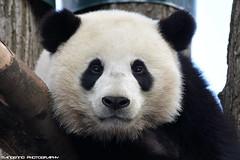 Giant Panda - Pairi Daiza (Mandenno photography) Tags: animal animals giant pairi daiza pairidaiza panda belgie belgium zoo ngc nature