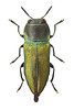 Anthaxia cichorii (Svatoslav Vrabec) Tags: buprestidae jewel beetlle bug prepared collection stacked dof image stack anthaxia illustration