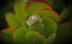 Mamiya Sekor Showing Colors (Joe Son Nguyen) Tags: mamiya sekor 55mm 14 succulent flower