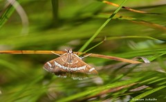 Moth in the grass (Photosuze) Tags: moths grass lepidoptera insects bugs nature wildlife animals