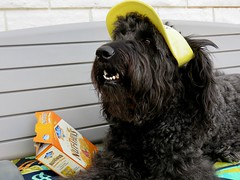 Sharing Crackers on the Patio (Bennilover) Tags: labradoodle littlethings dogs benni bennigirl sharing crackers healthy visor caps 52weeksfordogs