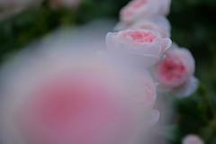 Rose 'Dames de Chenonceau' raised in France (naruo0720) Tags: rose frenchrose damesdechenonceau bredbydelbard バラ フランスのバラ フレンチローズ デルバールローズ ダムドゥシュノンソー macro bokeh マクロ ボケ sigmalenses