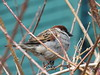 A bird in the bush is worth two in hand, March 2018 (ianulimac) Tags: bird shrubbery shrub bush sparrow beak feather chirp gaggle birds march buffalo ny walk neighborhood zoom