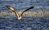 Osprey. (Chris Kilpatrick) Tags: chris canon canon7dmk2 outdoor osprey wildlife nature bird birdofprey raptor spain majorca albufera sigma150mm600mm water