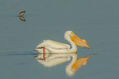 Doing the water slide (ChicagoBob46) Tags: americanwhitepelican whitepelican pelican florida jndingdarlingnwr sanibel sanibelisland nature wildlife coth coth5 ngc npc