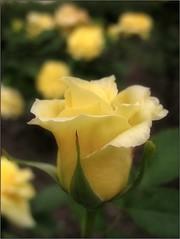 (Tölgyesi Kata) Tags: blossom rosen rosa rosier rose rózsa withcanonpowershota620 füvészkert botanikuskert botanicalgarden fleur virág budapest yellowflower spring tavasz