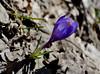Crocus (qoanis.27) Tags: crocus primavera fiore sottobosco viola