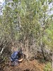 Abrindo alas para os carrascos (aulasdeviolino) Tags: carrasco quercusrotundifolia azinheira holmoak