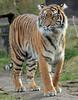 sumatran tiger Burgerszoo BB2A9512 (j.a.kok) Tags: tijger tiger sumatraansetijger sumatrantiger pantheratigrissumatrae animal asia azie predator kat cat mammal zoogdier dier burgerszoo
