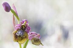 orquideas 2018.2 (jumoga2011) Tags: orquideas ophrys orchidaceae silvestres flors flowers flores flora canon7d canon60mm tarragona jumoga2011