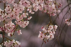 Cherry blossom (Jien Tohr) Tags: flower plants fewcolors 桜 cherryblossom