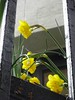 Raindrops on daffodils (Dun.can) Tags: london spring daffodils yellow flowers raindrops rain charlesdickens dickens doughtystreet house dickenshouse museum bloomsbury wc1
