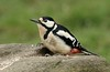 Great Spotted Woodpecker (farrertracy) Tags: woodpecker forest spring woodland