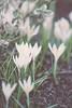 Whispers of spring (izzistudio) Tags: buy photography print etsy shop izzistudio flowers white crocus blossom blooming springtime nature garden april ground