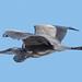 Gråhäger, Grey heron, Ardea cinerea D81_8177