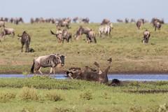 A mud bath (Ring a Ding Ding) Tags: africa connochaetes ndutu nomad serengeti tanzania action bokeh migration mudbath nature pleasure safari wildebeest wildlife shinyangaregion ngc
