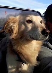 Smile on the Alfa Romeo .... (Pongo) (Deneb56) Tags: pongo car auto alfaromeogtv spider cane dog dogs smile sorriso contentezza autosenzacapotta pongoonthealfaromeo alfaromeo