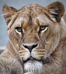 Leeuwin (Patrick Rasenberg) Tags: amsterdam artis dierentuin lion lioness zoo