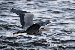 Heron (Ginger Snaps Photography) Tags: bird heron wildlife nature highland scotland flight wing feather