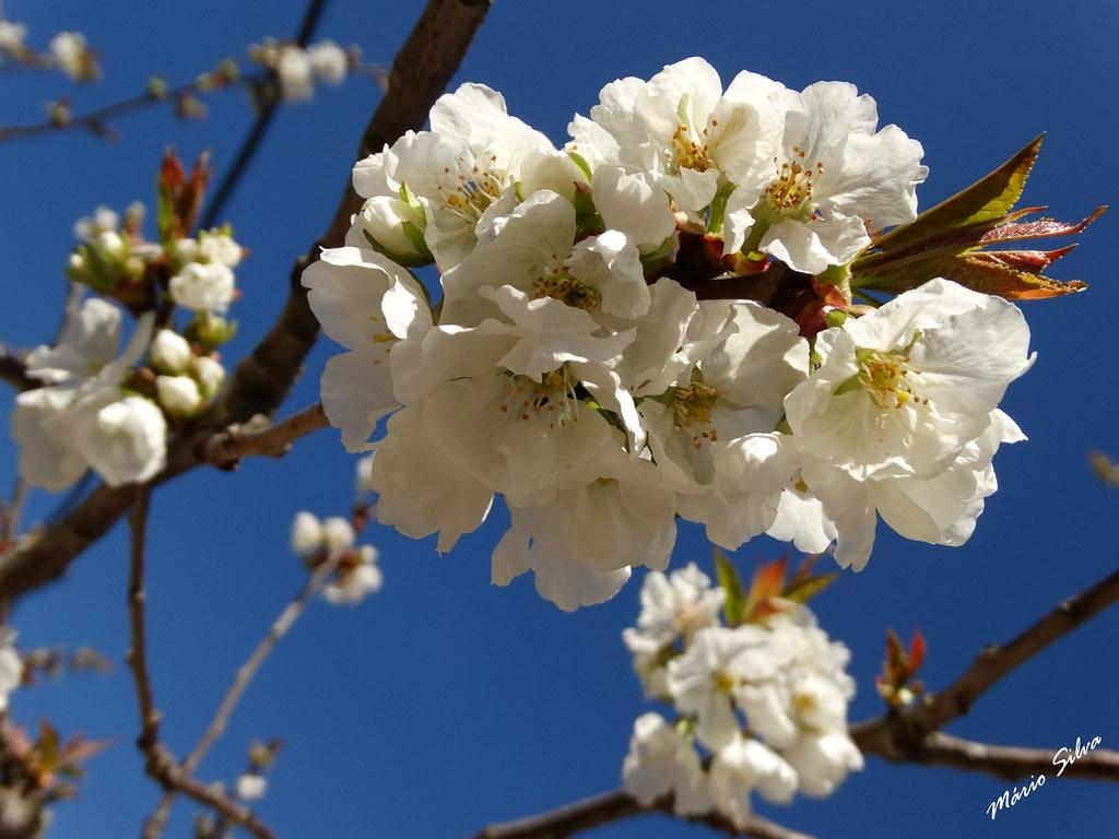 Águas Frias (Chaves) - ... flores de cerdeira (cerejeira) ...