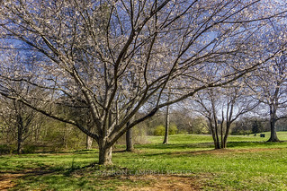 Tree Blossoms, 2018.03.15