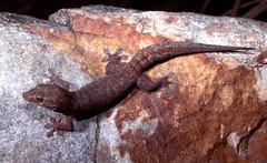 Northern Dtella (nicgambold) Tags: australianwildlife herpetology herptofauna gekkonidae gecko dtella kimberley purnululu reptile topend
