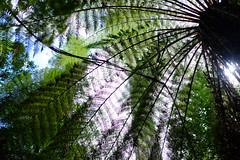 Styx Valley (Wintrmute) Tags: fern ferns tasmania styx australia au