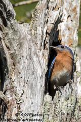 Bluebird Morning (ac4photos.) Tags: bird bluebird easternbluebird nature wildlife animal florida everglades glades naturephotography wildlifephotography birdphotography animalphotography nikon d500 tamron150600mm ac4photos ac