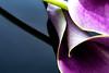 Purple Reflection (ClintHeeeerod) Tags: flower refection purple art d750 nikon nikkor 105mmf28 yn603ii strobe