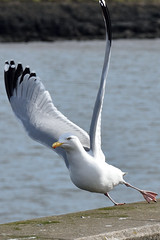 """About to go"" (42jph) Tags: nikon d7200 uk england northumberland blyth harbour nature wildlife bird herring gull"
