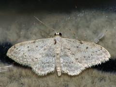 Idaea seriata - Small dusty wave - Малая пяденица крапчатая (Cossus) Tags: 2009 geometridae idaea sterrhinae можайский пяденица