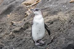 Galapagos Penguin 500_4344.jpg (Mobile Lynn) Tags: galapagospenguin wild birds penguins nature bird coast coastal fauna spheniscidae sphenisciformes spheniscusmendiculus wildlife taguscoveisabelaisland galapagosislands ecuador ec coth specanimal coth5 ngc npc