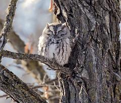Eastern Screech Owl (Megascops Asio) (wmckenziephotography) Tags: manitobaowl manitobawildlife owl screechowl